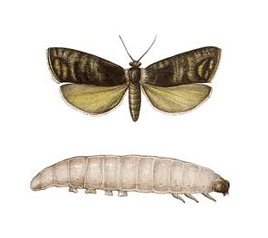 Codling Moths