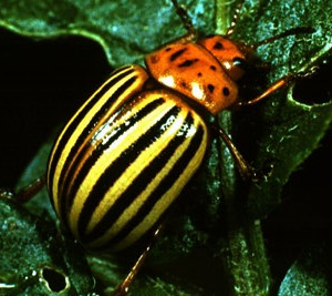 Colorado potato beetle beneficial insects natural for Beneficial nematodes for termites