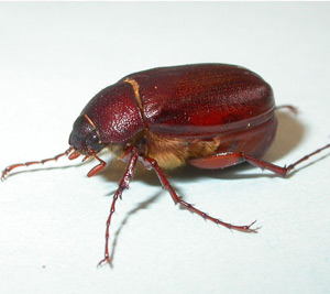 June Beetles Beneficial Insects Natural Organic
