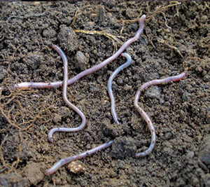 Soil Dwelling Pests Beneficial Insects Natural Organic
