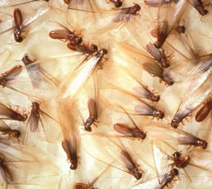 Termites Beneficial Insects Natural Organic Biological