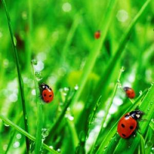 Charmant Garden Ladybugs