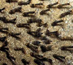 Black Fly Larvae