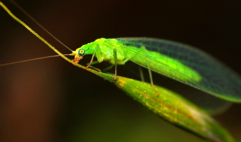 Green Lacewing - Chrysoperia carnea