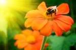 Bumblebees- Natural Pollination