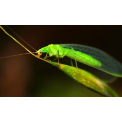 Green Lacewing - Chrysoperia carnea