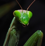 Praying Mantis - Tenodera aridifolia sinensis